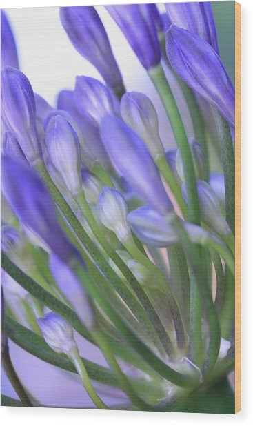 Agapanthus Wood Print by Rebeka Dove