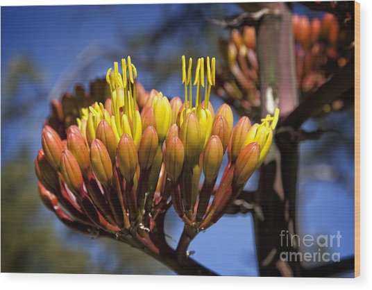 Agave Blooms Wood Print