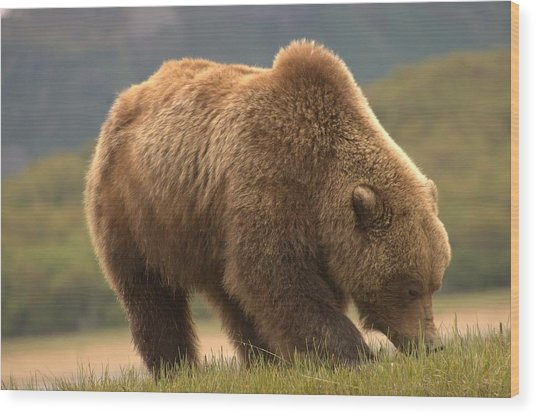Alaska Kodiak Bear Wood Print