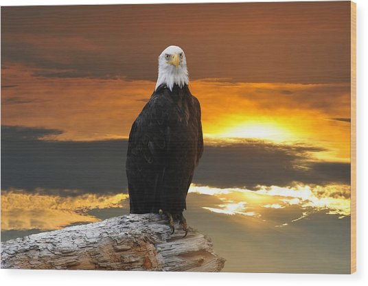 Alaskan Bald Eagle At Sunset Wood Print