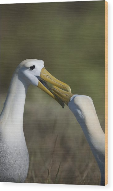 Albatross Courtship Wood Print by Richard Berry