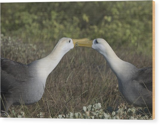 Albatross Perform Courtship Ritual Wood Print by Richard Berry