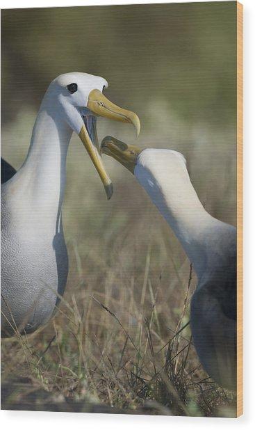 Albatross Perform Mating Ritual Wood Print by Richard Berry