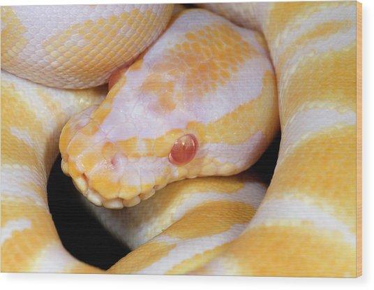 Albino Royal Python Wood Print by Nigel Downer