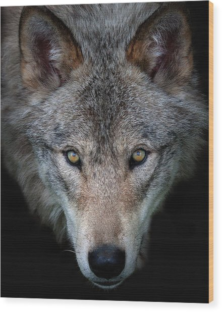 All The Better To See You - Timber Wolf Wood Print by Jim Cumming