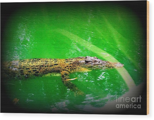 Alligator In Australia Wood Print by John Potts