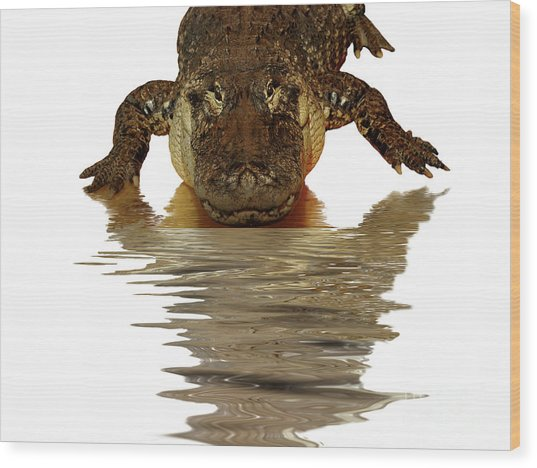 Alligator Making Eye Contact With You Wood Print