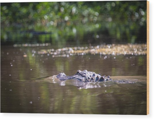 Alligator Swimming In Bayou 1 Wood Print