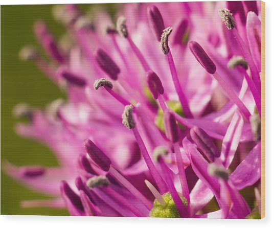 Allium 1 Wood Print by Carl Engman