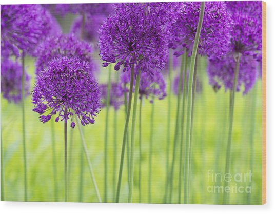 Allium Hollandicum Purple Sensation Flowers Wood Print