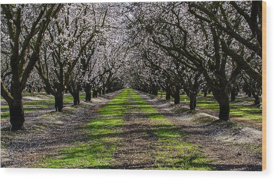 Almond Grove Wood Print