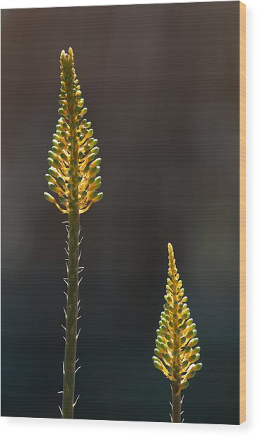 Aloe Plant Wood Print