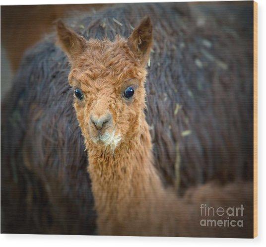 Alpaca Cria  Wood Print