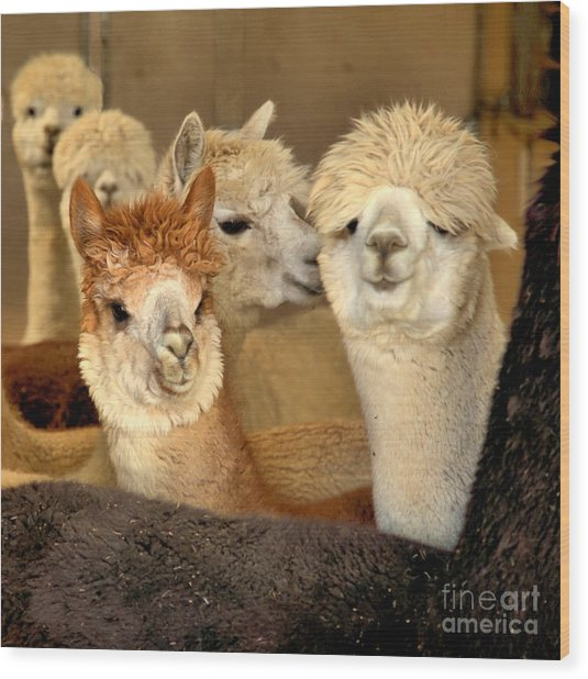 Alpaca Friends Wood Print
