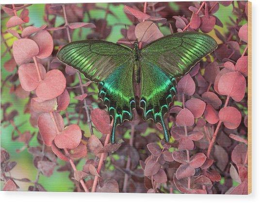 Alpine Black Swallowtail Butterfly Wood Print by Darrell Gulin