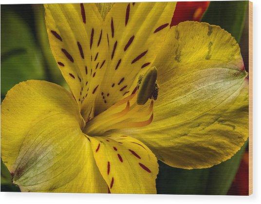 Alstroemeria Bloom Wood Print