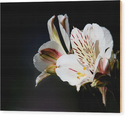 Alstroemeria Casablanca Wood Print