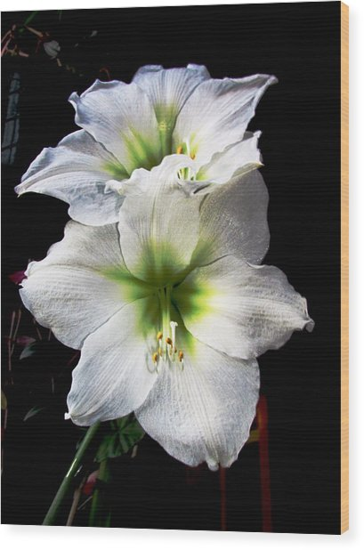 Amaryllis Wood Print by Will Boutin Photos