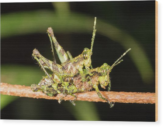 Amazonian Grasshoppers Mating Wood Print