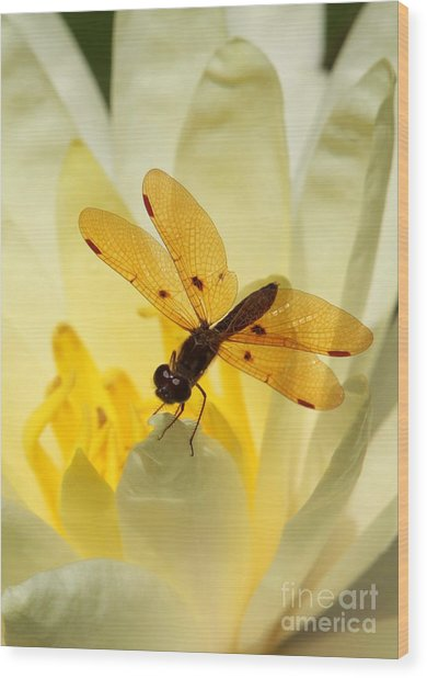 Amber Dragonfly Dancer Wood Print