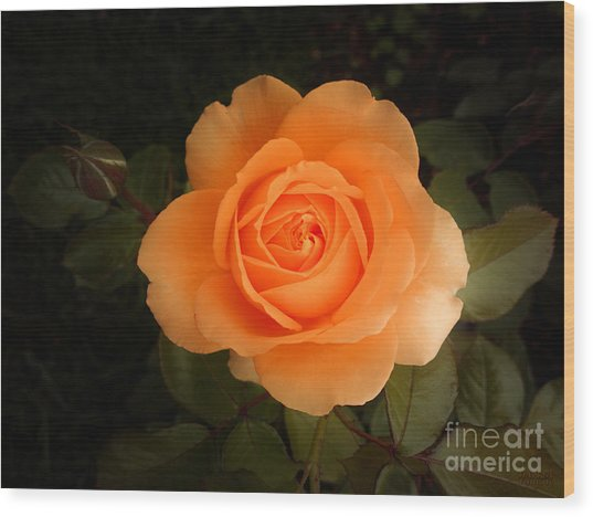 Amber Flush Rose Wood Print