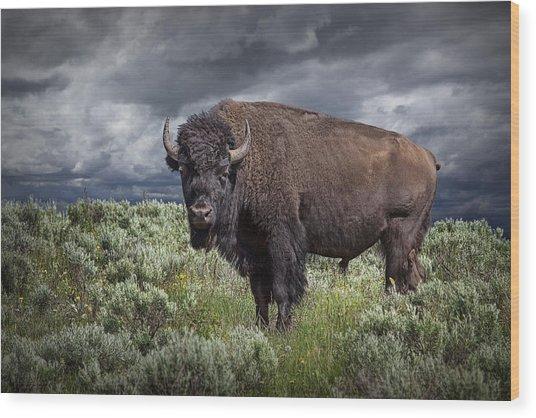 American Buffalo Or Bison In Yellowstone Wood Print
