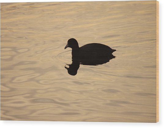 American Coot Silhouette Wood Print by Brian Magnier