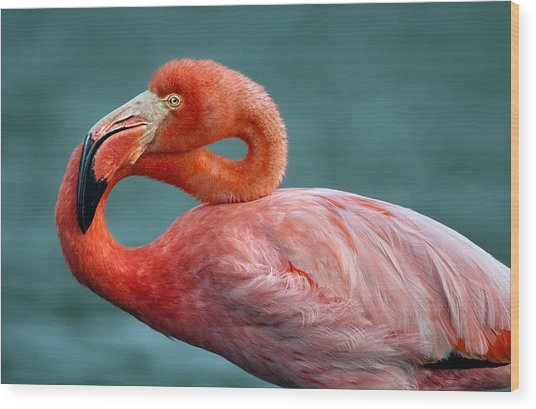 American Flamingo In Galapagos Wood Print