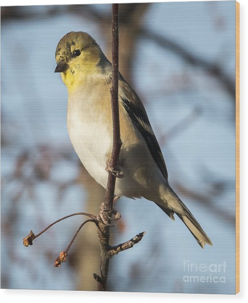 American Goldfinch Wood Print by Ricky L Jones
