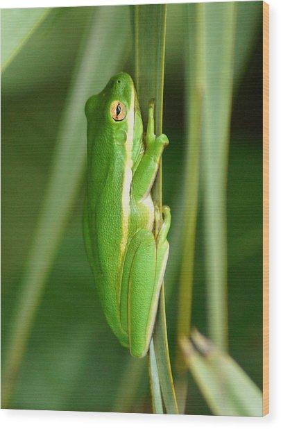 American Green Tree Frog Wood Print