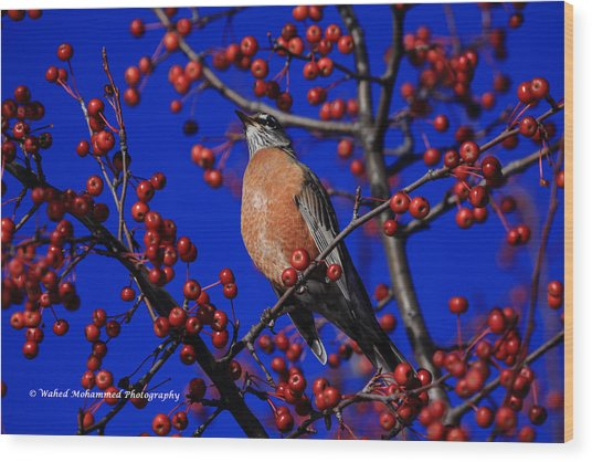 American Robin Wood Print by Wahed Mohammed