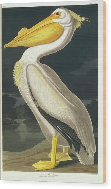 American White Pelican Wood Print by Natural History Museum, London/science Photo Library