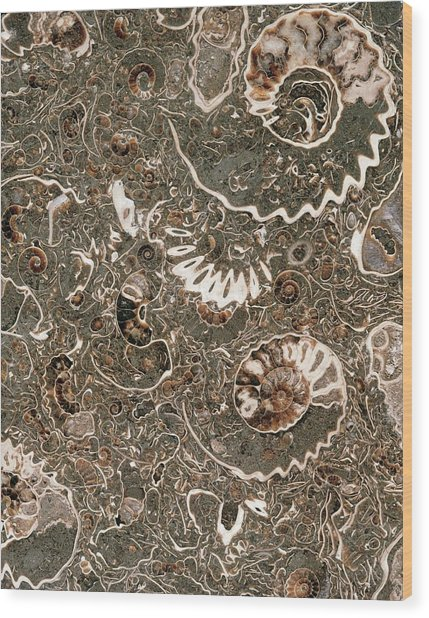 Ammonite Marble Wood Print by Natural History Museum, London/science Photo Library