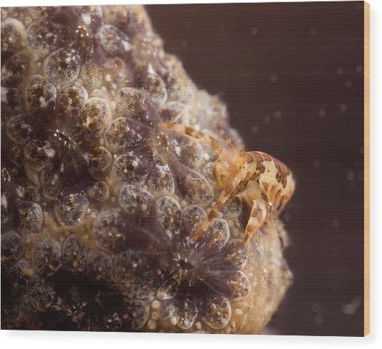 Amphipod On Botryllus Wood Print