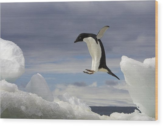 An Adelie Penguin, Pygoscelis Adeliae Wood Print by Ralph Lee Hopkins