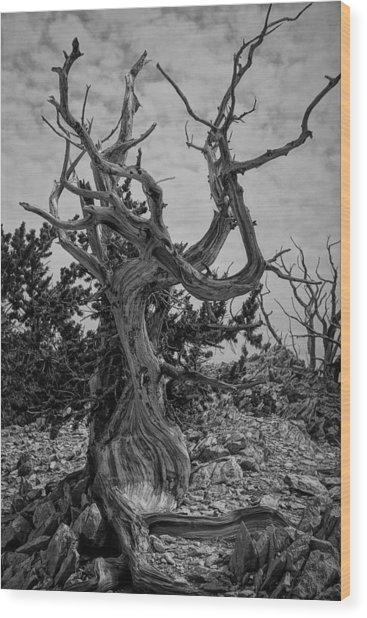 Ancient Bristlecone Pine Wood Print
