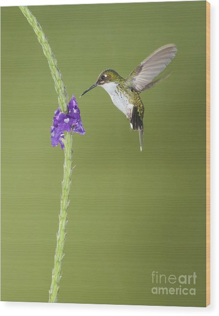 Andean Emerald Hummingbird Wood Print