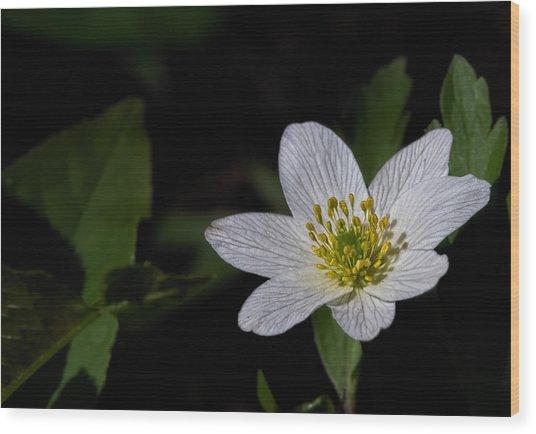 Anemone Nemorosa  By Leif Sohlman Wood Print