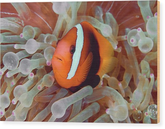 Anemonefish Among Poisonous Tentacles Wood Print