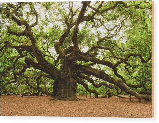 Angel Oak Tree 2009 Wood Print