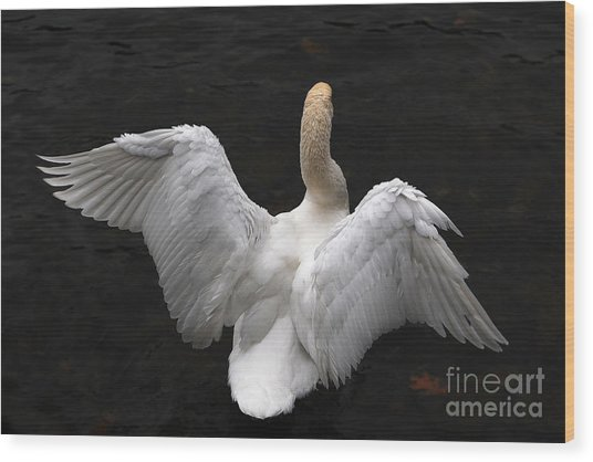 Angel Swan Wood Print