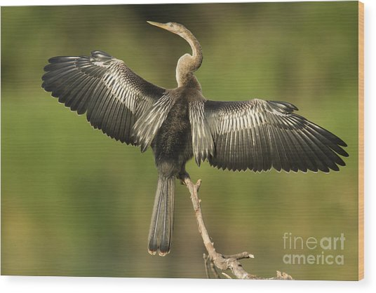 Anhinga Posing Wood Print by Kelly Morvant