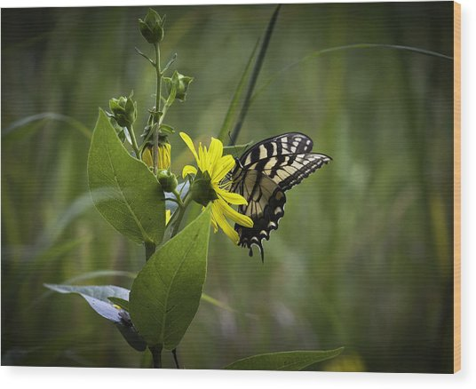 Anise Swallowtail 001 Wood Print