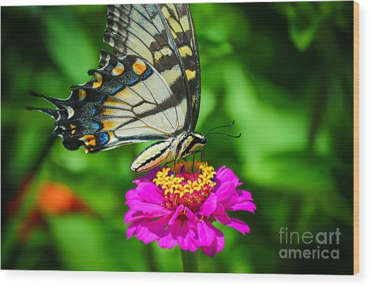 Anise  Swallowtail Butterfly Wood Print