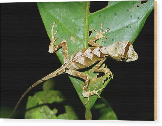 Anolis Lizard Wood Print by Dr Morley Read/science Photo Library
