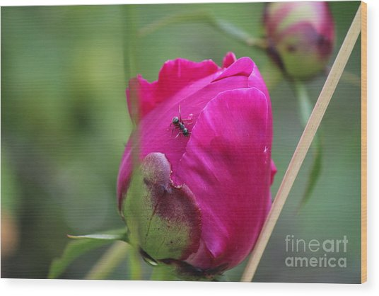 Wood Print featuring the photograph Ant On Peony by Ann E Robson