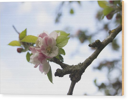 Apple Blossom Wood Print by Maeve O Connell