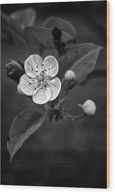 Apple Blossom On The Farm Wood Print