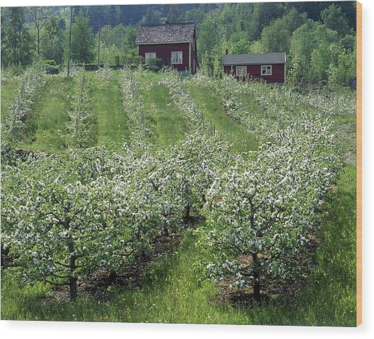 Apple Orchard Wood Print by Science Photo Library