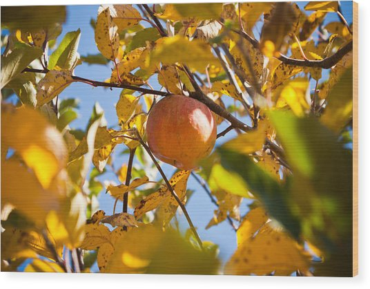 Apple Picking Wood Print